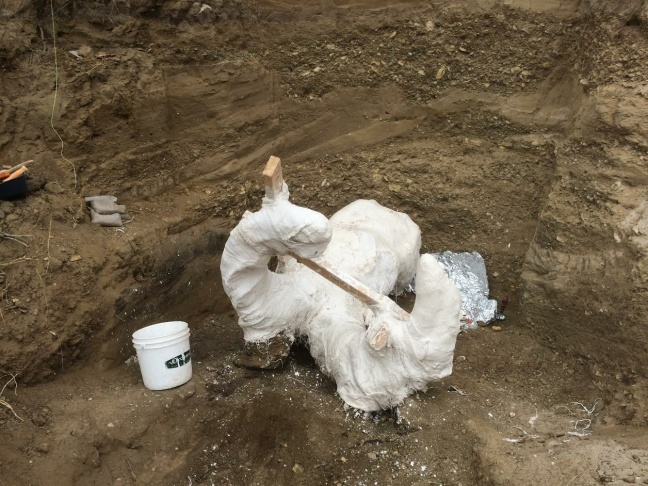September, 2016: A mammoth fossil is excavated on Santa Rosa Island in the Channel Islands.