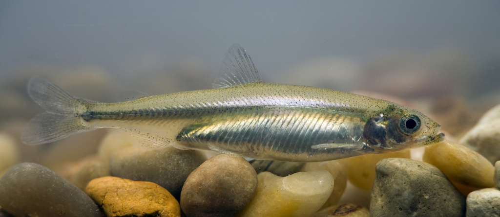 The Delta smelt is around 2 inches long.