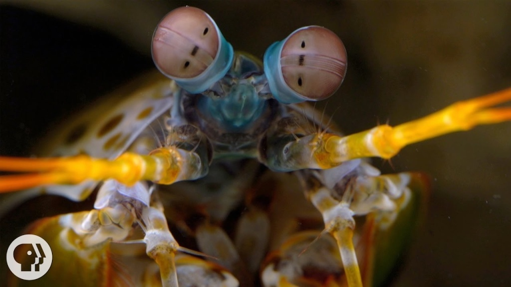 The killer punch of the mantis shrimp is the fastest strike in the animal kingdom, a skill that goes hand in hand with its extraordinary eyesight. They can see an invisible level of reality using polarized light, which could lead to a breakthrough in detecting cancer.