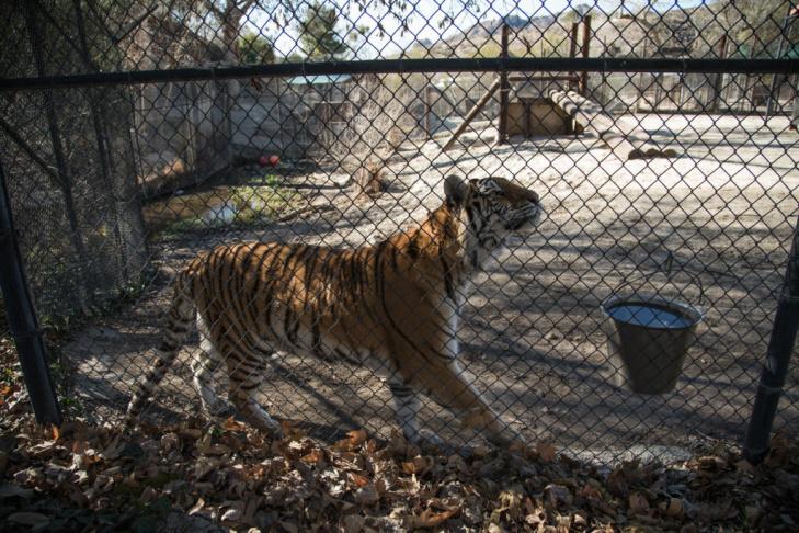 Tippi Hedren Shambala Preserve Feline Cat Tiger Lion