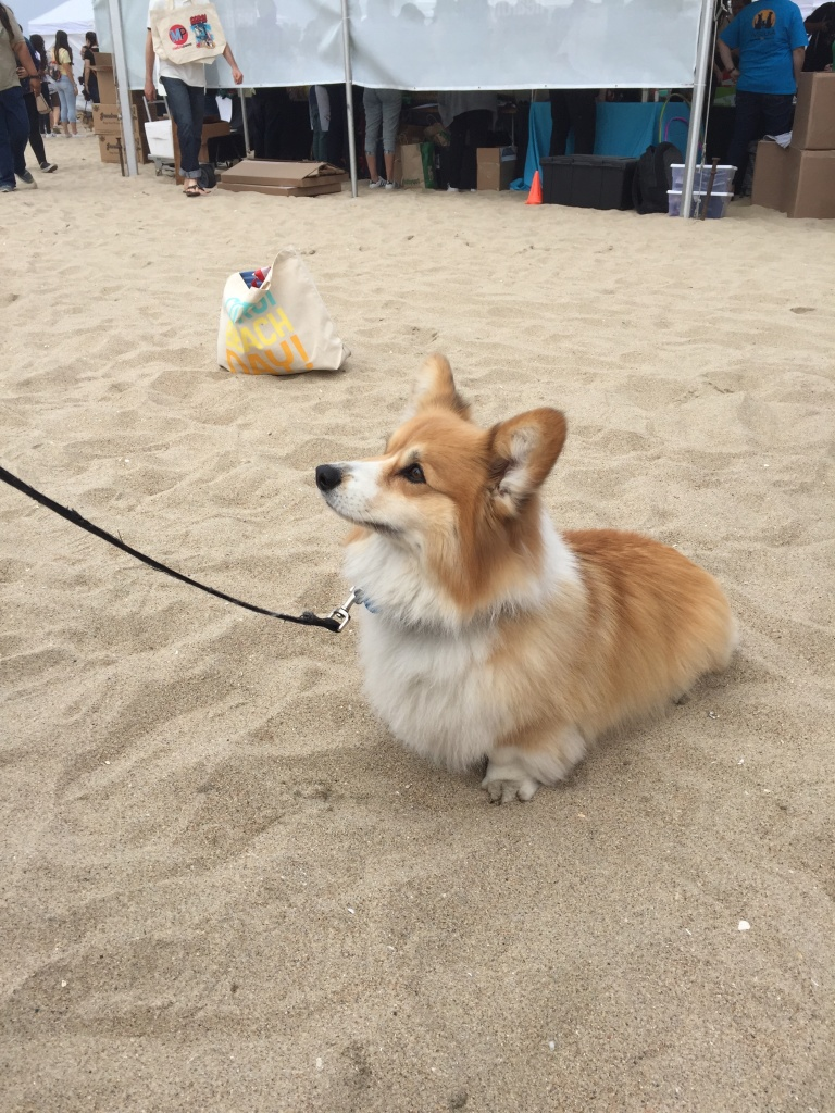 A very shaggy corgi patiently waiting for a treat from his owner at SoCal Corgi Beach Day.