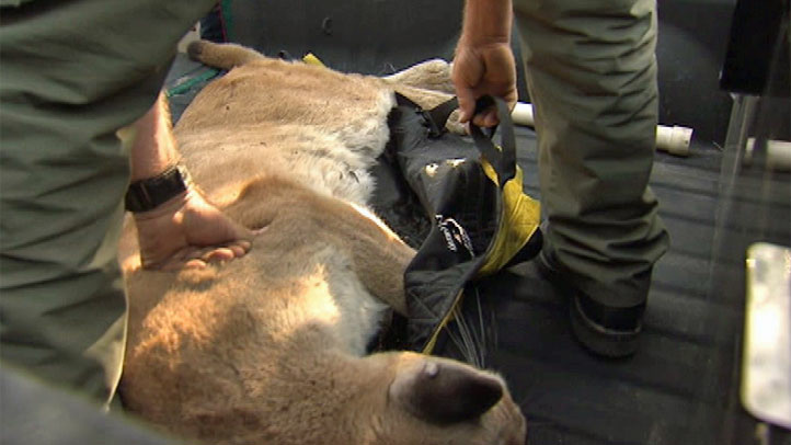 A California Department of Fish and Wildlife officer places a tranquilized mountain lion into a pickup truck after it was captured in Glendale on April 11, 2013.