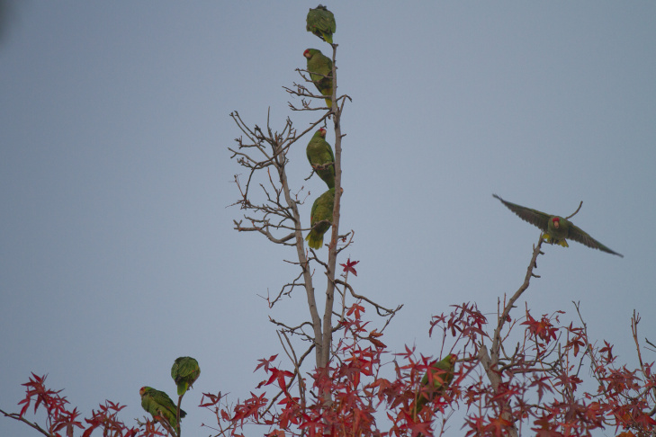 Two parrots show each other a little bit of love in the upper branches of a tree in South Pasadena.
