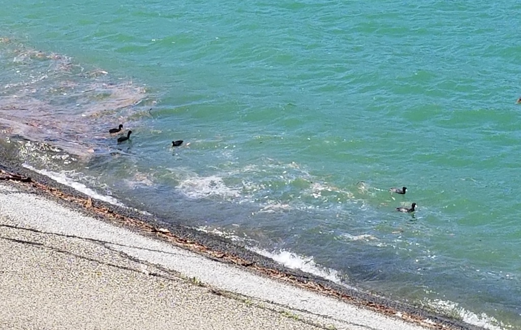 Silver Lake Reservoir ducks enjoying the now slightly greener water.