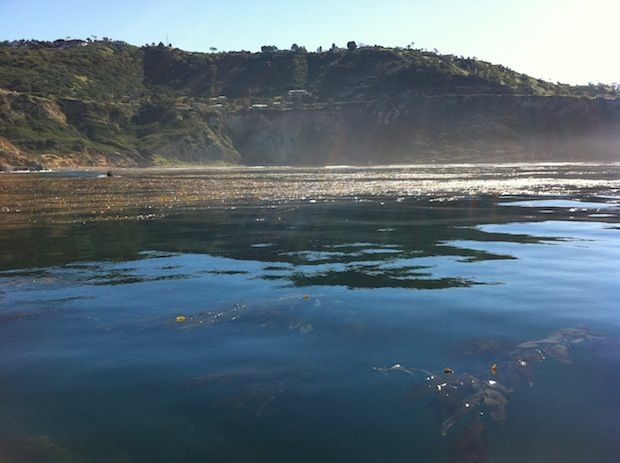 A kelp bed off the Palos Verdes peninsula.