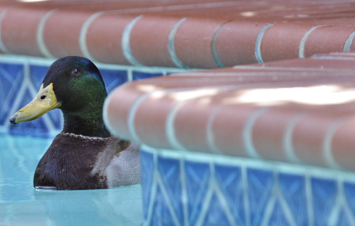 A mallard duck takes a bath at a private