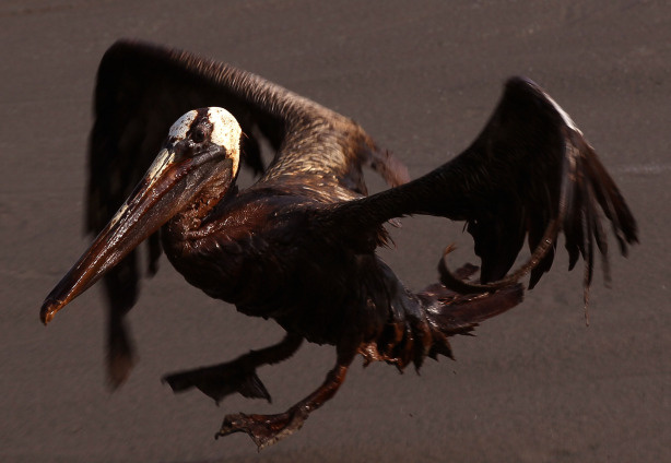 A brown pelican coated in heavy oil tries to take flight June 4, 2010 on East Grand Terre Island, Louisiana. Oil from the Deepwater Horizon incident is coming ashore in large volumes across southern Louisiana coastal areas.