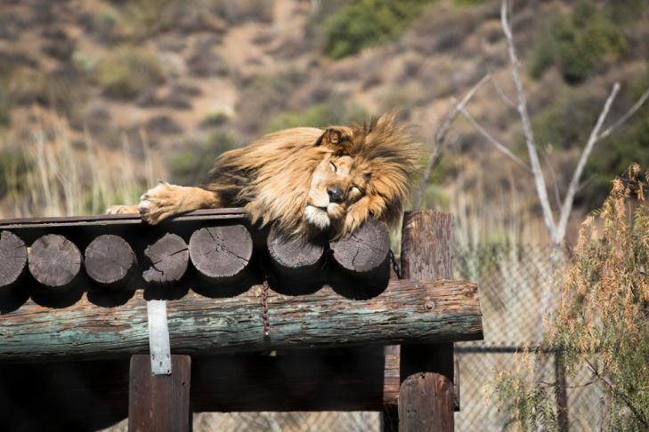 07 - Tippi Hedren Shambala Preserve Feline Cat Tiger Lion
