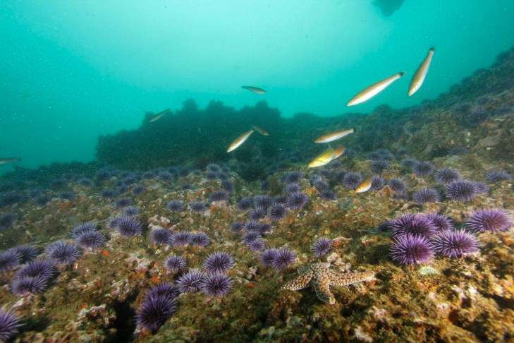 Purple sea urchins the size of golf balls eat everything in their path, including the millions of kelp spores trying to take root on the ocean floor.