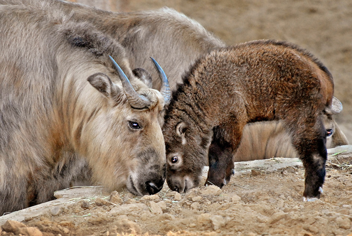 This image provided Wednesday April 17, 2013, by the Los Angeles Zoo shows a male Sichuan takin kid born in January 2013 in Los Angeles. The male of  four goat antelopes are normally found in the mountains of China.