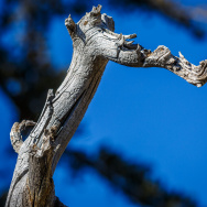 Branch of a standing dead tree on the Exploration Trail in the Children's Forest in the San Bernardino National Forest.