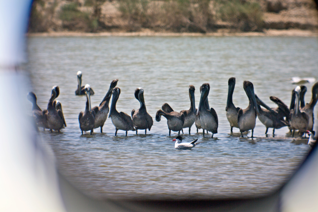 Tens of thousands of California brown pelicans have shown up at the Salon Sea months earlier than usual.