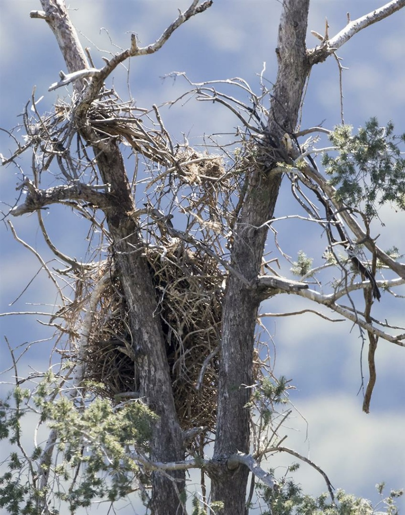 Fallen nest of American bald eagles, Angeles National Forest