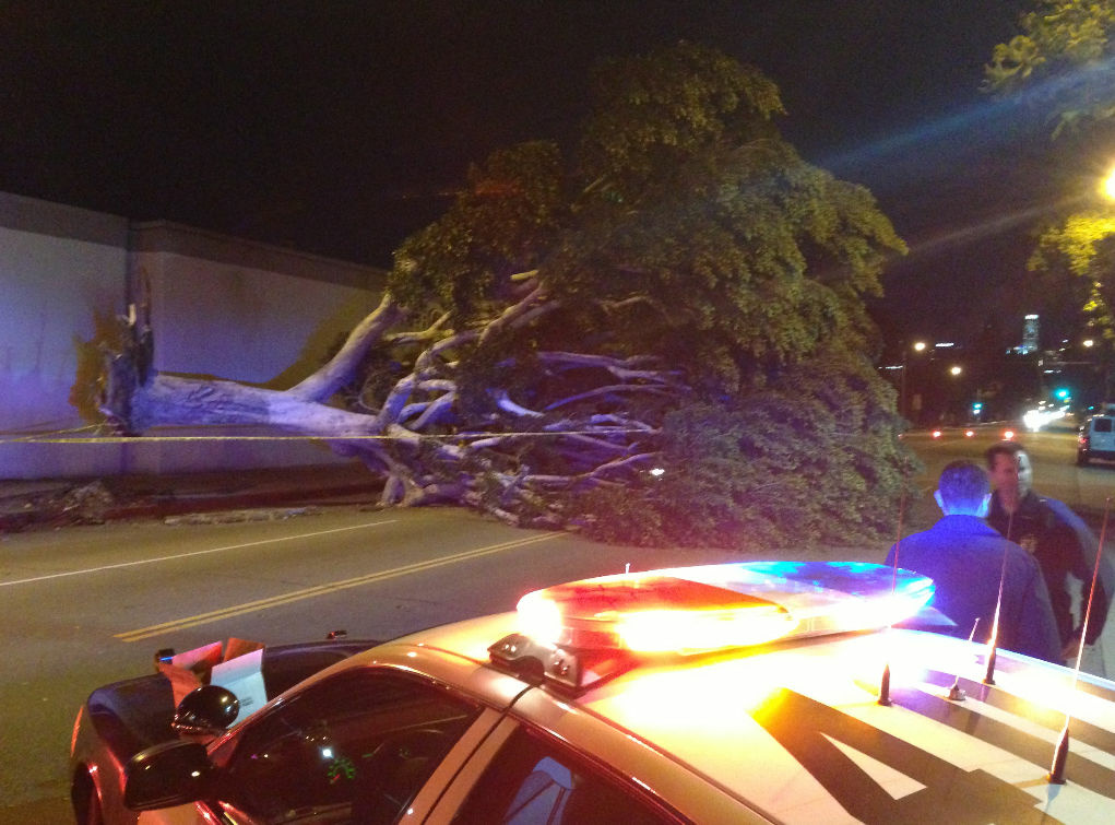 Winds uprooted a massive tree in South Los Angeles in the 3100 block of S. Broadway. Crews had to chop up the tree to remove it from the road.