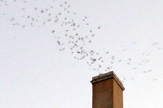 A column of Vaux's Swifts descend into a chimney at the Chester Williams building located at 5th Street and Broadway in downtown Los Angeles, Sept. 22, 2010.