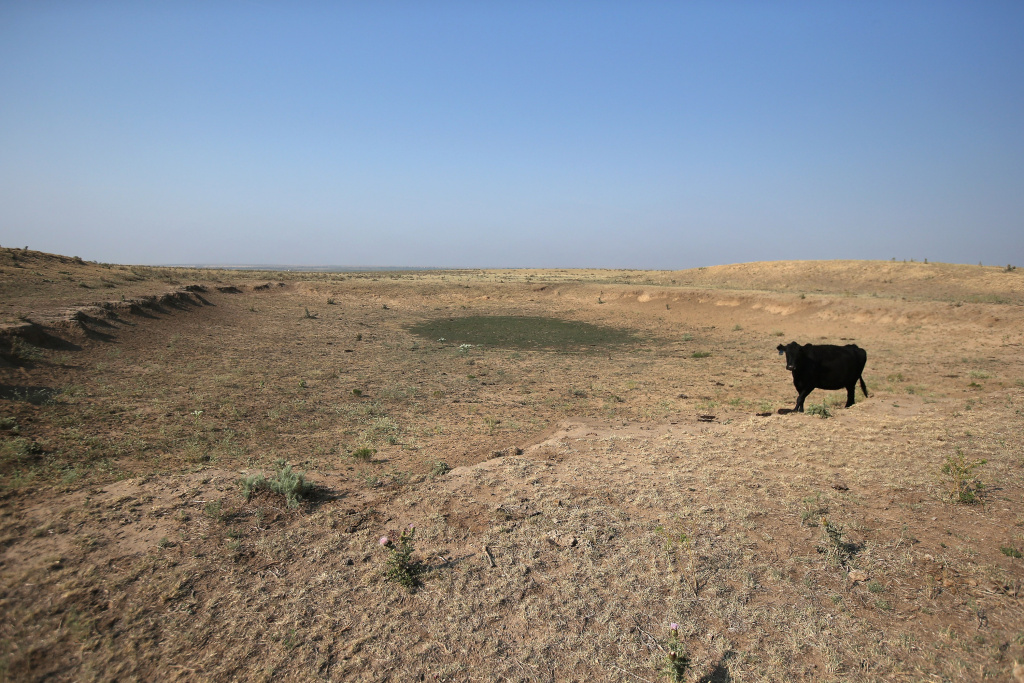 A cow walk on a dried-up pond in a drought-ravaged pasture on August 22, 2012 near Eads, Colorado