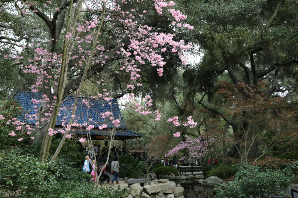 Cherry blossoms in the Japanese Tea Garden, Descanso Gardens.