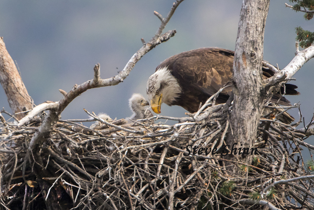 American Bald Eagle feeds chicks in San Gabriel Canyon.