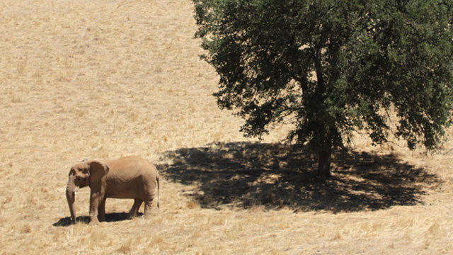 The African elephants at PAWS spend their days in a similar climate to their homelands in Southern Africa.