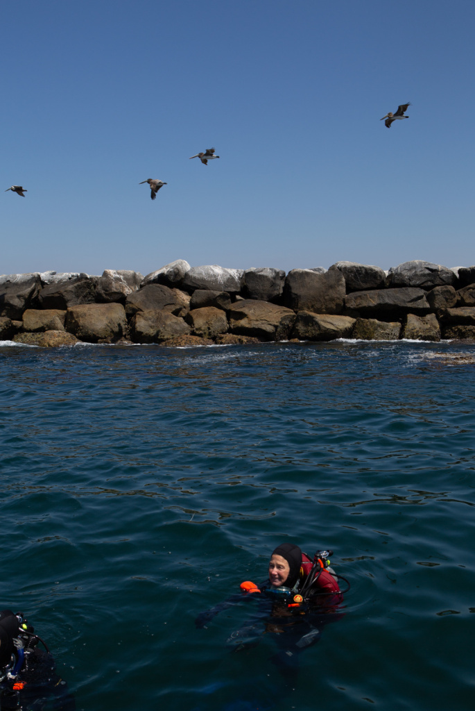 Sandy Trautwein collecting samples of kelp and algae along the Long Beach breakwater. while a flock of pelicans flies by. Photographed on April 26, 2019 in Long Beach, California. (James Bernal for KPCC)