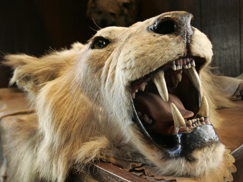 The head and skin of an East African lion killed at the turn of the century by President Theodore Roosevelt decorates The Explorers Club in New York. A committee designed to advise the Department of Interior on the benefits of big-game hunting was dissolved in December after two years.