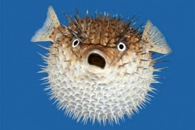 Say hello to a puffer fish!