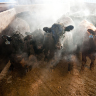 Beef cattle in a barn on the Larson Farms feedlot in Maple Park, Ill.