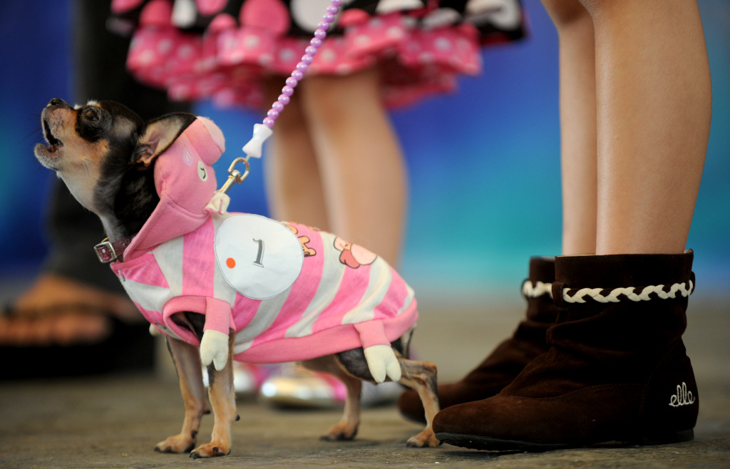 A Chihuahua barks to other dogs during the Philippine Animal Welfare Society's (PAWS) annual Halloween fund raising event, Manila, 2011.