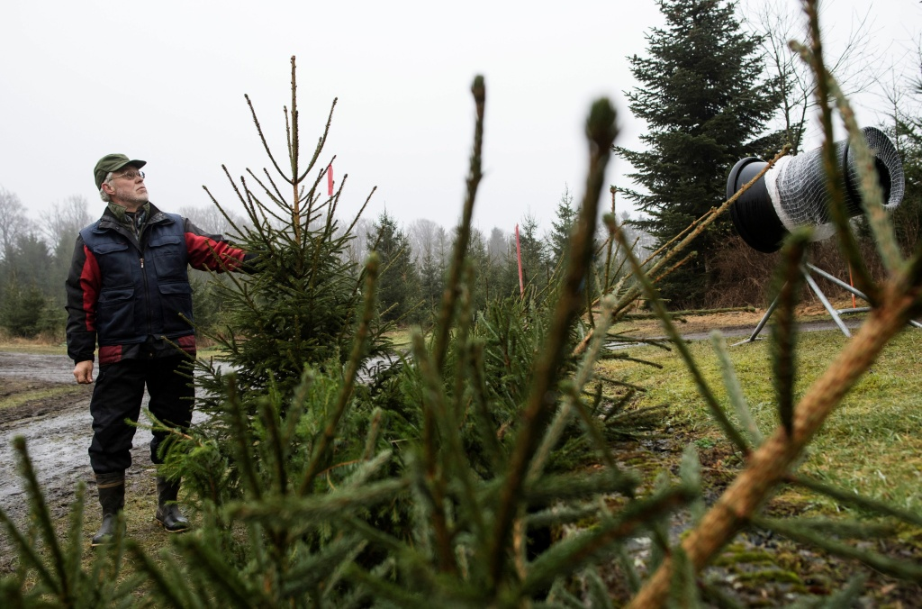 Eskil Andersson inspects trees at his Christmas tree farm in Sankt Olof in southern Sweden on December 19, 2017.