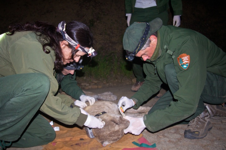 Mountain lion P-22 is trapped, sedated and treated for mange during a capture in Griffith Park.