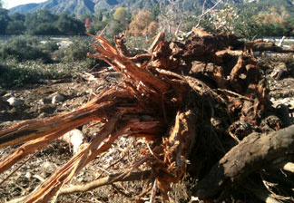 250 old-growth trees were cut down to make room for a dumping ground as crews clear out area debris basins and the Santa Anita Dam.