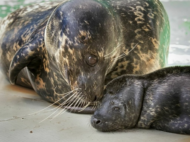 The Aquarium of the Pacific is celebrating the birth of the first male harbor seal at the institution, born on May 1, 2013.