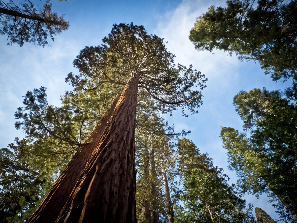 A Giant Sequoia (Sequoiadendron giganteum) at Yosemite National Park on March 8, 2014.