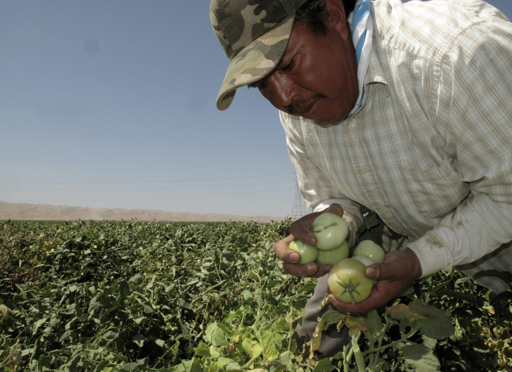 FILE - In this Aug. 30, 2016, file photo, farmworker Florentino Reyes picks tomatoes at a field near Mendota, Calif. President-elect Donald Trump's tough stance on immigration has farmers in California, the nation's top producing agriculture state, nervous that they'll have even greater trouble finding workers to tend their fields and orchards.
