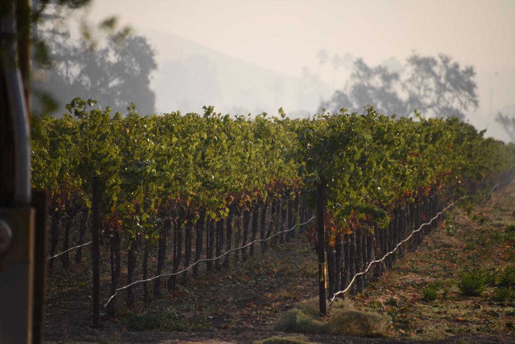 Smoke from wildfires hangs over grape vines at a vineyard in Santa Rosa, California in this October 11, 2017 file photo. The impact last month's wildfires had on the wine industry was minimal overall, but many face challenges making up for losses sustained during closures at the busiest time of year and now convincing people to revisit.