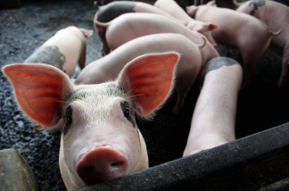 If you'd like a side of bacon minus the antibiotics, you may soon be in luck. The FDA is expected to announce new and stricter guidelines on the use of antibiotics on animals.