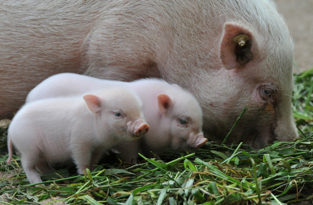 Two mini-pig piglets stand next to their mother on September 23, 2011 at the zoo in Hanover, central Germany. Adult mini pigs reach a weight of up to 70 kilograms and a heigt of approximately 50 centimeters.    AFP PHOTO    JOCHEN LUEBKE    GERMANY OUT (Photo credit should read JOCHEN LUEBKE/AFP/Getty Images)