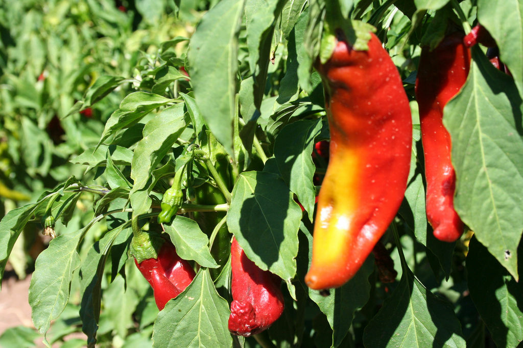According to recent reports from a research team led by Australian biologist Monica Gagliano, some plants such as chili peppers may be able to