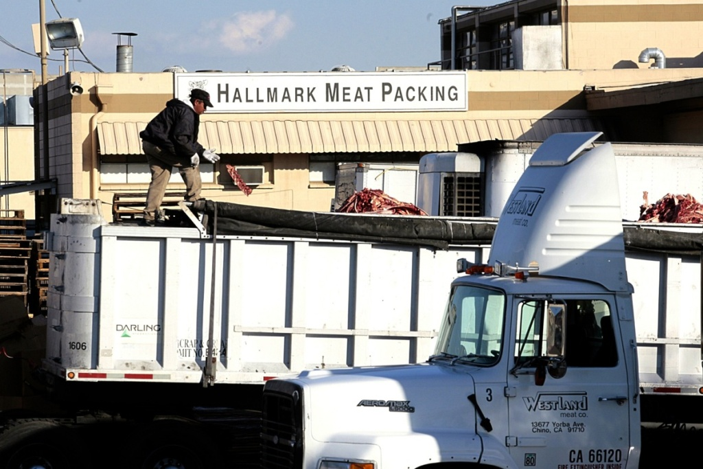 A worker throws a piece of meat among cattle carcass scraps dropped into a truck at the Hallmark Meat Packing slaughterhouse in Chino, Calif.