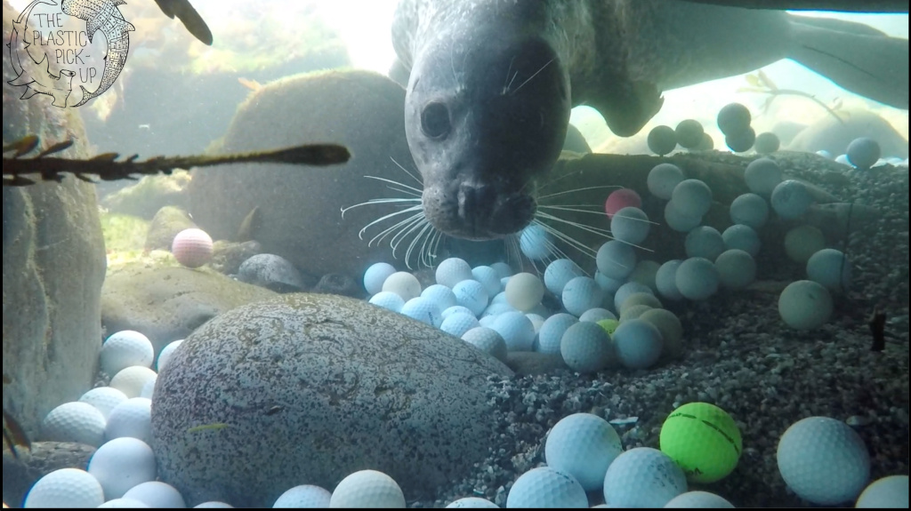 A curious harbor seal checks out diver Mike Weber as he and his team pick up golf balls in the waters off the coast of Northern California.