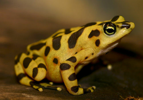 Image of a Panamanian Golden Frog.