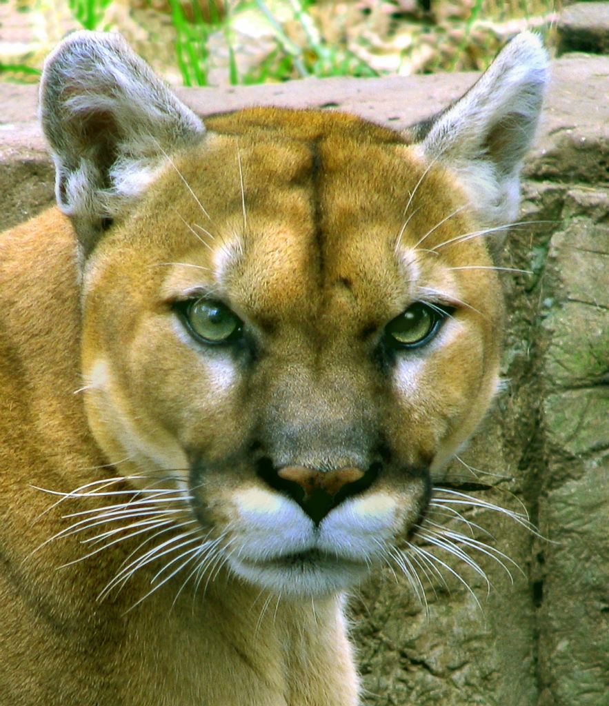 A photograph of an adult mountain lion.