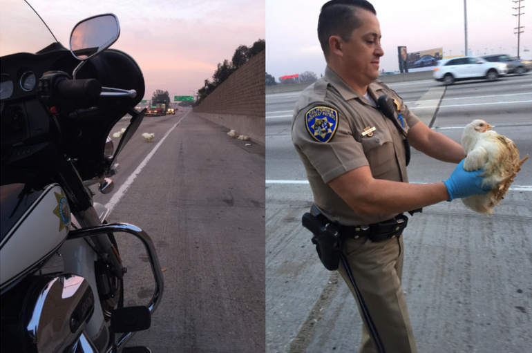 California Highway Patrol officers worked to rescue nearly 20 chickens that ran across the 605 Freeway in Norwalk Tuesday morning.