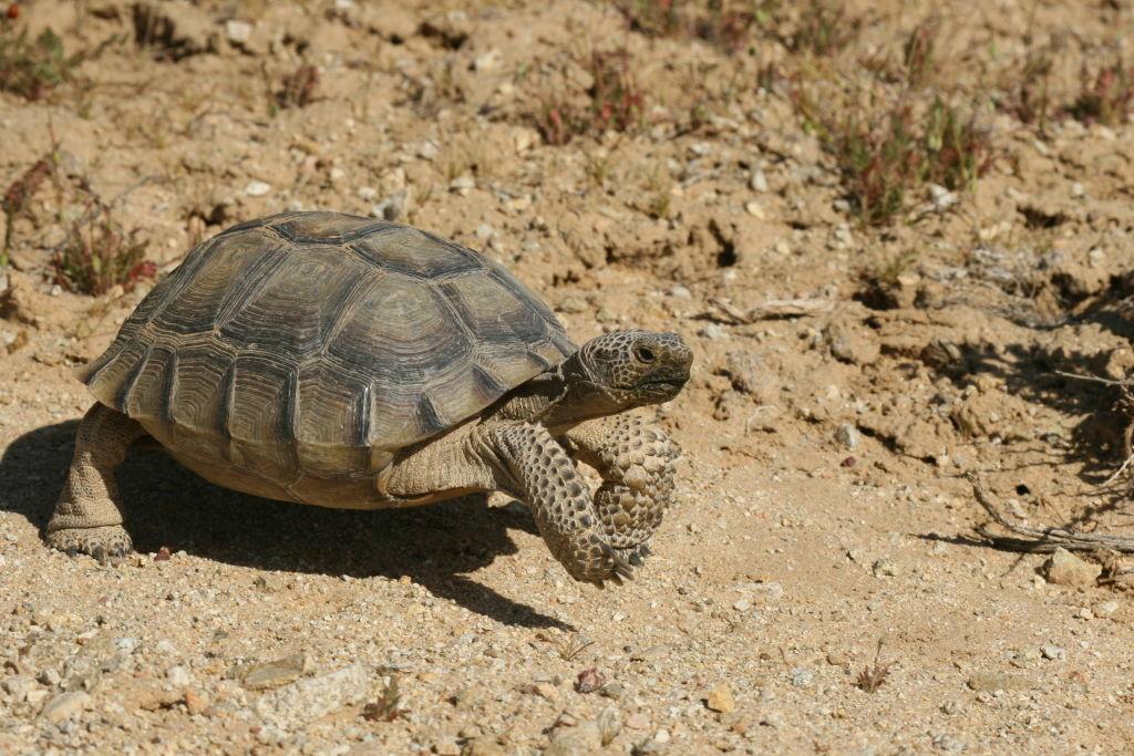 A desert tortoise NOT named Mr Tenenbaum