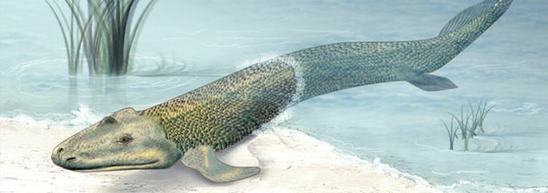 "An illustration of what the sea creature Tiktaalik may have looked like. Known as a ""fishapod,"" Tiktaalik bridged the gap between sea living and land living creatures, and played an important evolutionary role on our journey to becoming human."