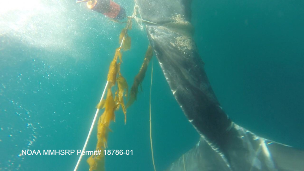 A juvenile humpback whale is shown entangled in fishing gear off Palos Verdes on July 29.