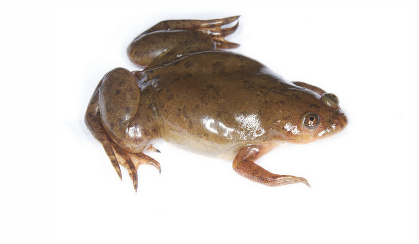 Xenopus laevis | African Clawed Frog