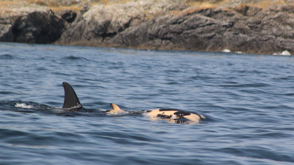 A female orca that appears to be grieving has been carrying her dead calf in the water, keeping it afloat since the baby died more than a week ago.