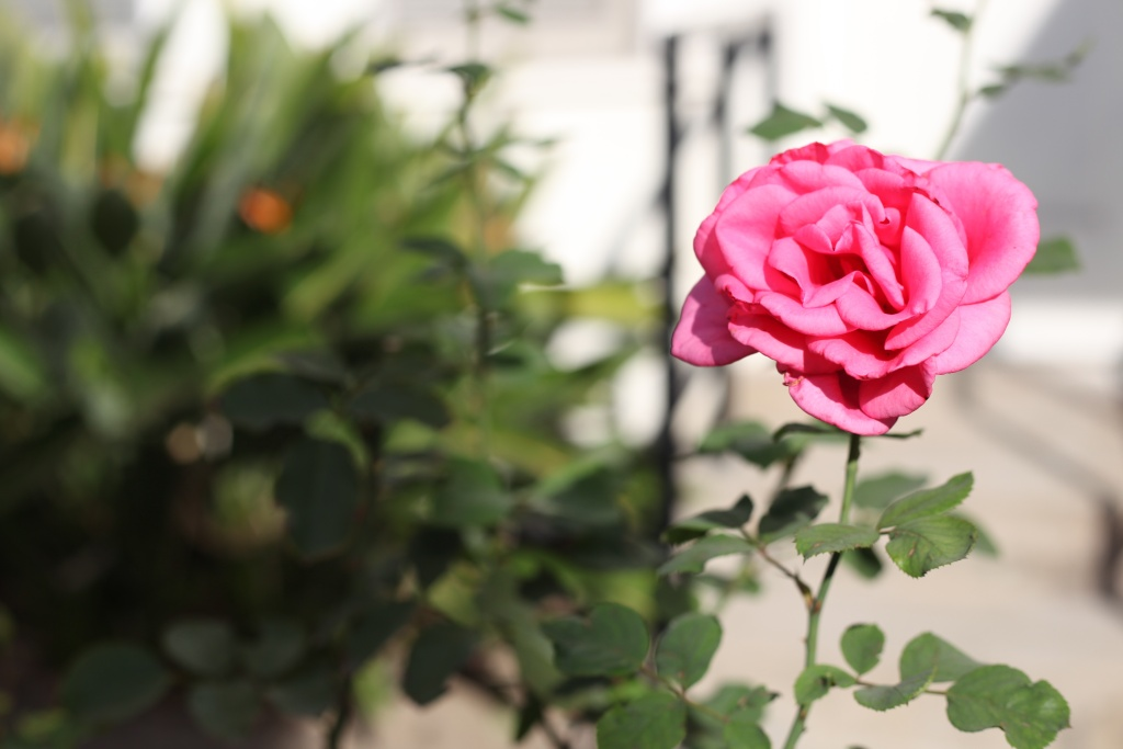 A rose blooms in the courtyard of Good Shepherd Center.