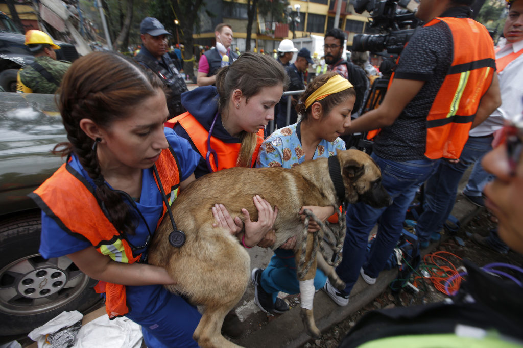 A rescue dog is helped to recuperate by volunteers after he became exhausted during search and rescue operations at a building felled by a 7.1 magnitude earthquake, in the Ciudad Jardin neighborhood of Mexico City, Thursday, Sept. 21, 2017. Thousands of professionals and volunteers are working frantically at dozens of wrecked buildings across the capital and nearby states looking for survivors of the powerful quake that hit Tuesday. (AP Photo/Eduardo Verdugo)